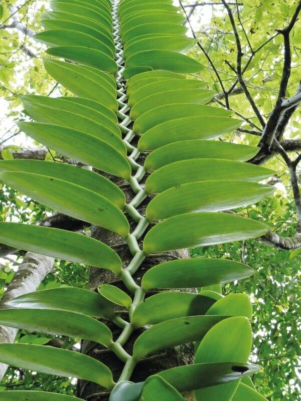 La mayoría de las orquídeas crecen encima de los árboles. Las vainillas, en cambio, nacen en el suelo y luego empiezan a subirse a los árboles como enredaderas. Pueden alcanzar alturas de hasta 30 metros. Foto: UNED para LN.