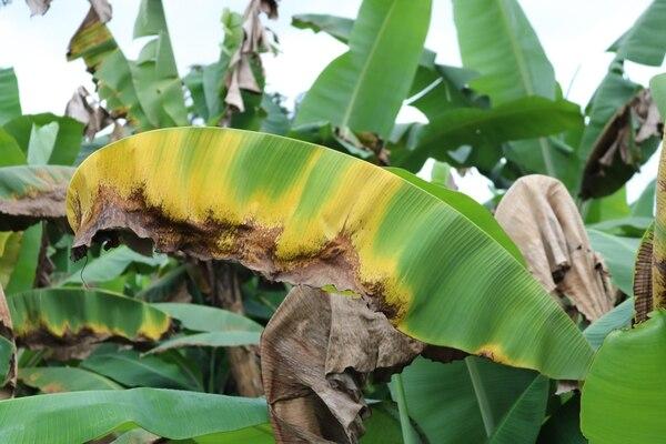 El marchitamiento de las hojas y la caída hacia el tallo es uno de los síntomas del hongo en su variante 4. Fotografía cortesía del SFE.