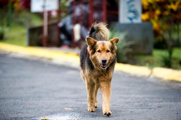 Las heces en la vía pública y el hecho de que los perros saquen la basura de las bolsas para recolección que sacan los vecinos, son parte de las quejas de los entrevistados. Foto: Luis Navarro.
