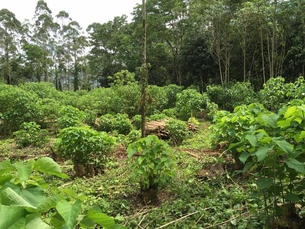 Imagen de una plantación de árboles de melina en La Suiza de Turrialba (Cartago) del Centro Agronómico Tropical de Investigación y Enseñanza (CATIE) que colabora con el TEC en la iniciativa de biomasa seca. En la imagen se aprecia el retoño de algunos árboles y leña cortada lista para usarse.