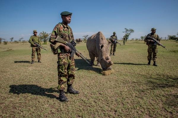 Un pelotón armado procura mantener a salvo al último macho de los rinocerontes blancos.