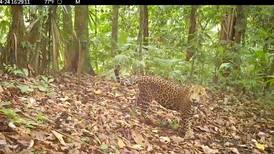 Cámara retrata a jaguar joven en zona del Parque Corcovado donde nunca antes se acercaban