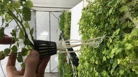 Cultivo de hortalizas en el aire está cerca de pasar a fase comercial en Costa Rica