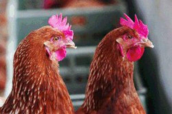 En una granja situada en el oeste, en Hekendorp, los empleados de los organismos sanitarios sacrificaron 100.000 gallinas y en otro situado en el norte, a 90.000 pollos. / Foto ilustrativa / EFE/ KATIA CHRISTODOULOU