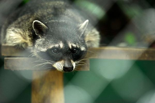 El zoológico Simón Bolívar y el Centro de Conservación de Santa Ana cuenta con médico veterinario y nutricionista para atender a los animales que permanecen en cautiverio. | GESLINE ANRANGO PARA LN