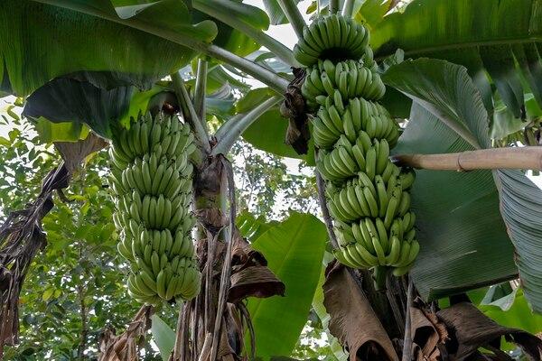 La sequía en el Caribe tomó por sorpresa a los productores bananeros, pues con la presencia de El Niño lo normal es que llueva. Ante la escasez de agua, se prevé una baja de al menos el 15% en la producción bananera respecto al año pasado. Foto: Mayela López