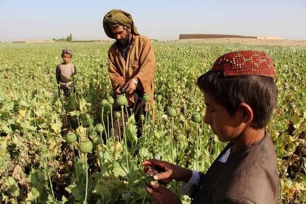 Agricultores afganos trabajaban el 11 de abril del 2017 en extraer la savia para producir opio en un campo de cultivo de amapola en Helmand.