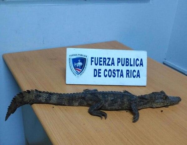 Imagen del lagarto decomisado por un vecino de La Unión de Cartago, quien entregó a la especie a la Fuerza Pública local para que regrese a su ambiente natural.