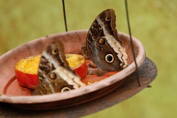 Mariposas del Pacuare es un proyecto de desarrollo comunitario sostenible que busca generar nuevos emprendimientos que permitan a los habitantes de la localidad dedicarse a prácticas más amigables con el ambiente, en lugar de la explotación de bosques o la caza furtiva Foto: Albert Marín.