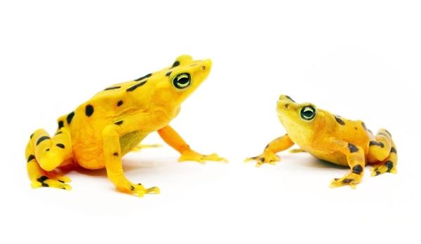 Los especímenes de reproducción de la especie conocida científicamente como Atelopus zetequis tienen seis semanas de vida. Las ranas tienen un promedio de vida de entre ocho y diez años. | EFE