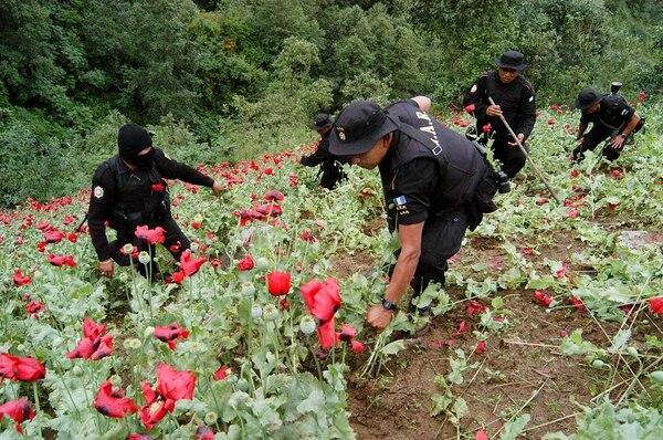 También en Guatemala, cerca de la frontera con México, se cultiva la amapola. Policías destruyeron este sembradío en San Marcos. | ARCHIVO.
