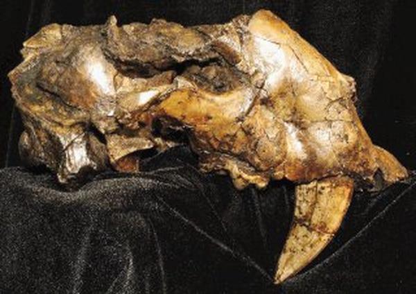 En esta foto sin fecha de Ascanio Rincon, se ve un fósil de un tipo de tigre dientes de sable. (Foto AP / Ascanio Rincon)