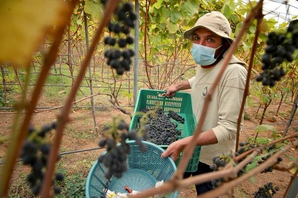 En la empresa Copey Estate Winery trabajan más de 30 personas. La idea es seguir sumando trabajadores de la zona al proyecto del viñedo. Fotografía: John Durán