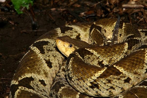 El estudio se centra en mordeduras de serpiente terciopelo ( Bothrops asper ). | DAVINIA BENEYTO PARA LN