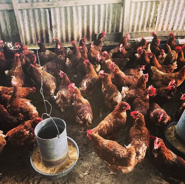 Una visita a la granja: las gallinas ponen muchos de los huevos que se consumen en el hotel