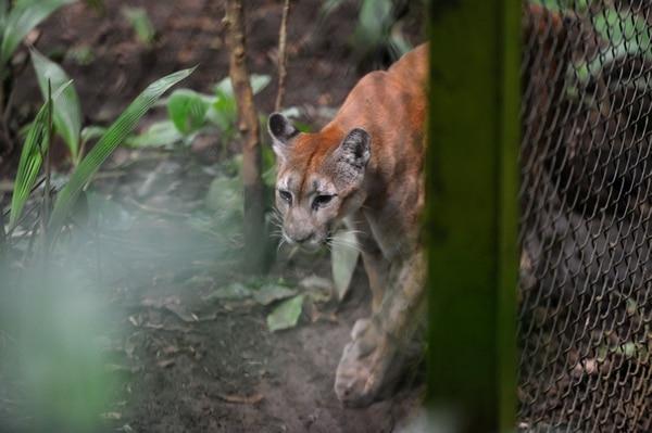 Selva era la más afectada de salud cuando ingresaron a Zoo Ave, hace tres lustros. Hoy pesa 30 kilos.