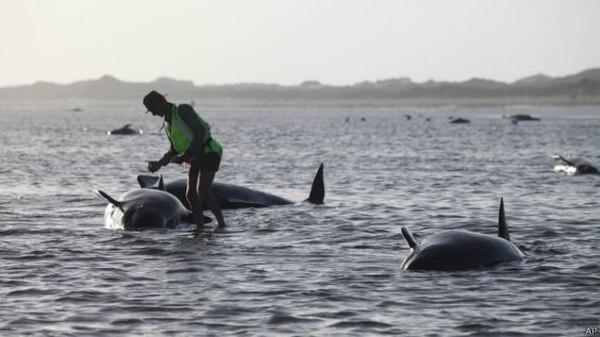 140 ballenas murieron en las costas de Nueva Zelanda.