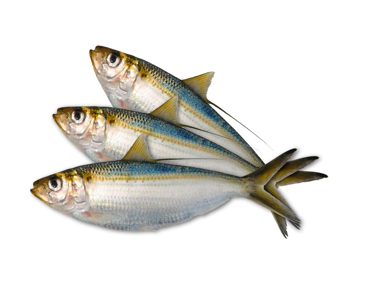 Investigadores ticos hallan residuos pl sticos en peces de for Cria de peces para consumo humano
