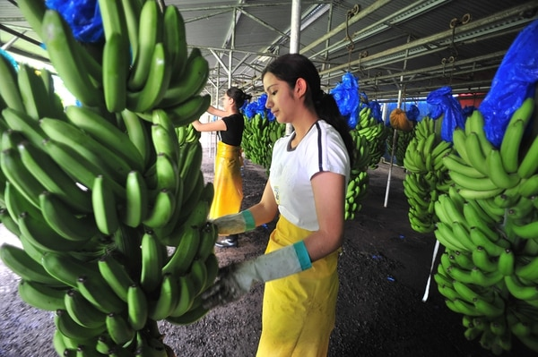 Las exportaciones de banano a China se elevaron a $7,57 millones en el 2014, pero cayeron a $1,12 millones en el 2105.   ARCHIVO/JORGE CASTILLO
