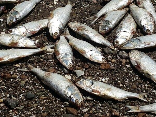 Guardacostas desconoce qué van a hacer con los peces muertos.