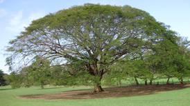 Guanacaste e higuerón: árboles muy distintos, pero que ticos confunden con facilidad