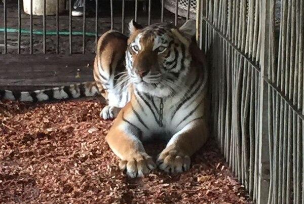 Los tigres formaban parte del elenco del Circo Hermanos Suárez, de México.