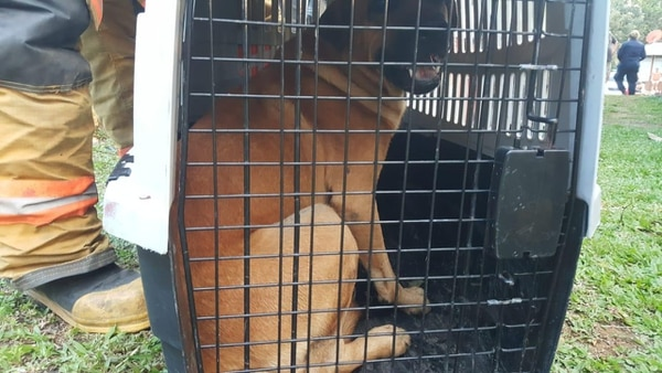 La conducta y condiciones del perro zaguate que atacó a una niña de un año en Katira de Guatuso, también será evaluada por Senasa. Foto: Bomberos