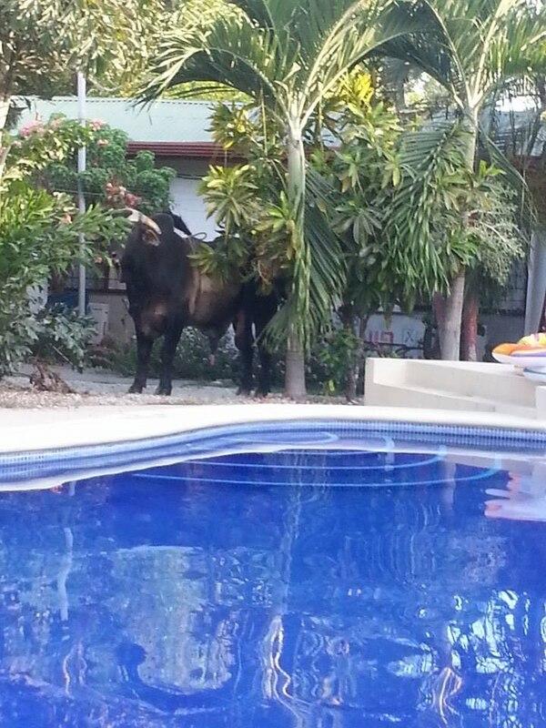 El animal anduvo por varias propiedades de esa zona, ubicada en la península de Nicoya.