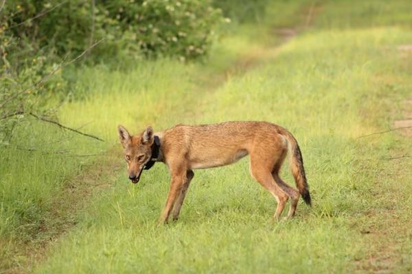 Los movimientos de los coyotes seleccionados para el estudio, son seguidos por medio de collares de GPS. Foto: Kevin Lloyd para LN