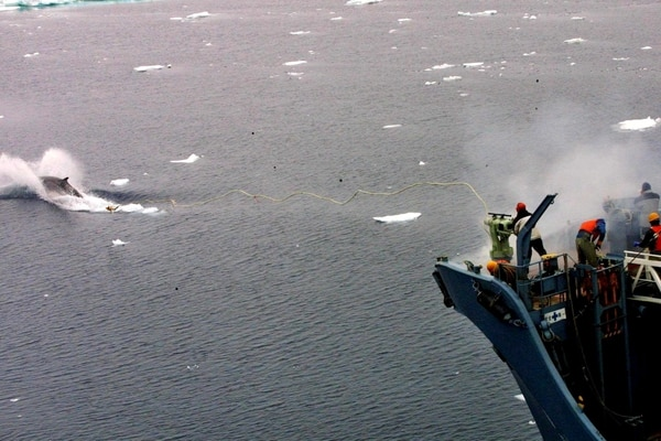OC01 OCÉANO ANTÁRTICO (ANTÁRTIDA) 01/12/2015.- Fotografía de archivo tomada el 16 de diciembre de 2001 facilitada por Greenpeace que muestra un ballenero japonés que utiliza un arpón para cazar una ballena en el Océano Antártico. Según informes, una flota de balleneros han partido hoy, 1 de diciembre de 2015, para retomar el programa de caza de ballenas en el Océano Antártico a pesar de que la Corte Penal Internacional (CPI) declarase en 2014 que la supuesta finalidad científica de la pesca de ballenas por parte de Japón era una farsa. Japón abandonó la caza de ballenas en 1986 por la moratoria internacional, pero la retomó en 1987 tras alegar motivos científicos y comenzó a efectuar sus expediciones a la Antártida en nombre del Instituto de Investigación de Cetáceos. EFE/Greenpeace/Jeremy Sutton-Hibbert SÓLO USO EDITORIAL/PROHIBIDA SU VENTA
