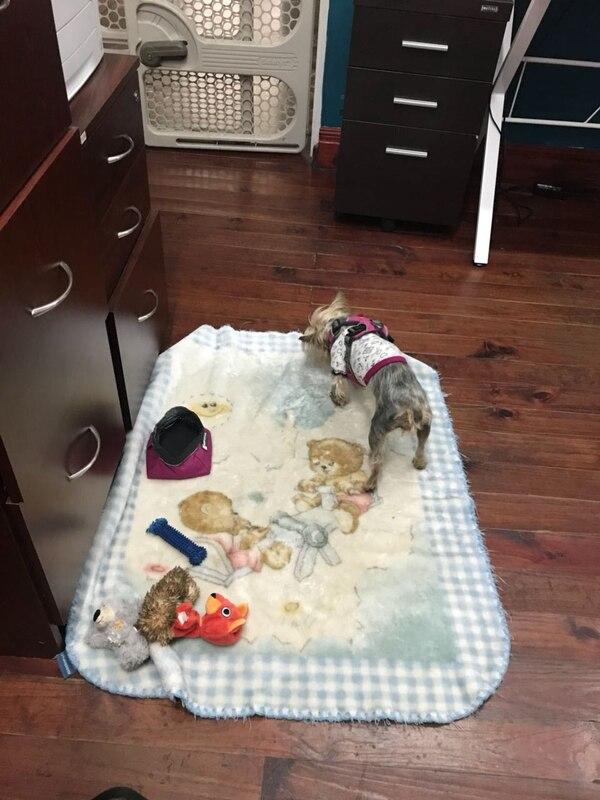 Los amos pueden tener a sus mascotas todo el día a su lado, pero deben velar por el buen comportamiento del animal y atenderlo como es debido. Foto: Wendy Sandoval para LN.