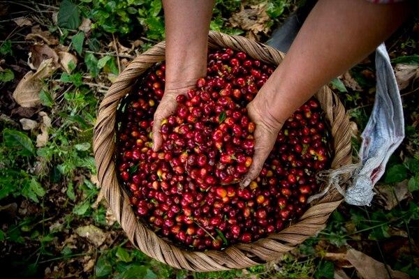 La Hacienda Aquiares en Turrialba tiene 170 años de funcionar y a partir de agosto necesitará más de 1.200 cogedores de café.