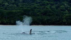 Osa celebra a sus ballenas a partir de este fin de semana