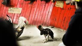 Esta semana en 'Revista Dominical': Gallos de pelea