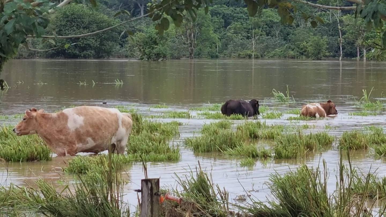 En Boca San Carlos muchos animales murieron ahogados por la inundación. Foto Edgar Chinchilla.