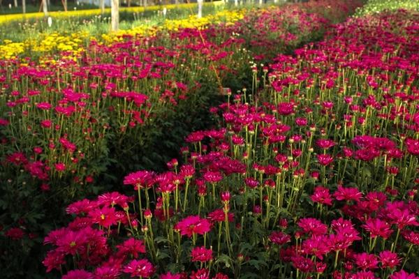 Las Gerberas son la segunda flor más buscada en años anteriores de acuerdo a datos de Aporflor vendían 15.000 docenas. Foto: cortesía de Aproflor para LN