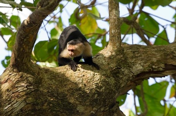 Investigadores de la Universidad de Calgary, Canadá, realizaron el estudio con monos carablanca en Santa Rosa, Guanacaste.   PABLO MONTIEL