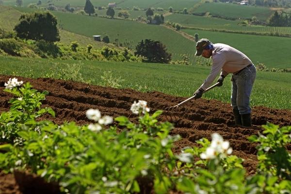 La agricultura fue la actividad que más empleo generó en el primer trimestre del año en las zonas rurales, casi 12.000 nuevos empleos . Mario Víquez trabaja en una siembra de zanahoria. | ARCHIVO/MAYELA LÓPEZ