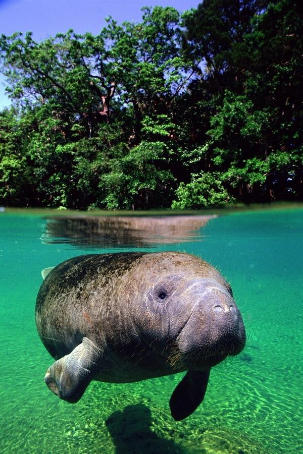 El manatí es una especie que existe en el Caribe.