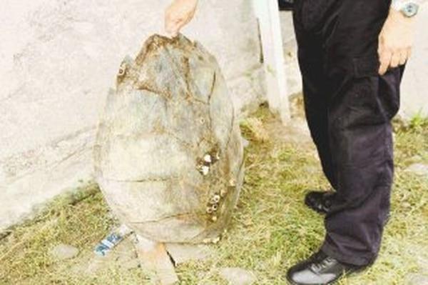 La policía decomisó el caparazón de la tortuga, huevos y carne como pruebas contra los tres sujetos detenidos. | ALEJANDRO NERDRICK GNN.