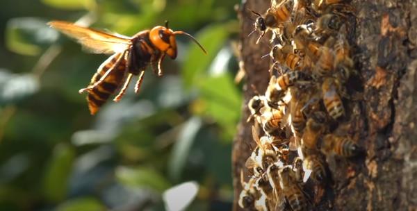 Una avispa gigante de Asia acecha una colmena de abejas. En este caso, la avispa es unas 5 veces más grande que sus víctimas. Foto: MBCentertainment (Corea del Sur), tomado de YouTube.