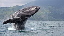 ICT lanza guía turística de Osa con avistamiento de ballenas como atractivo principal