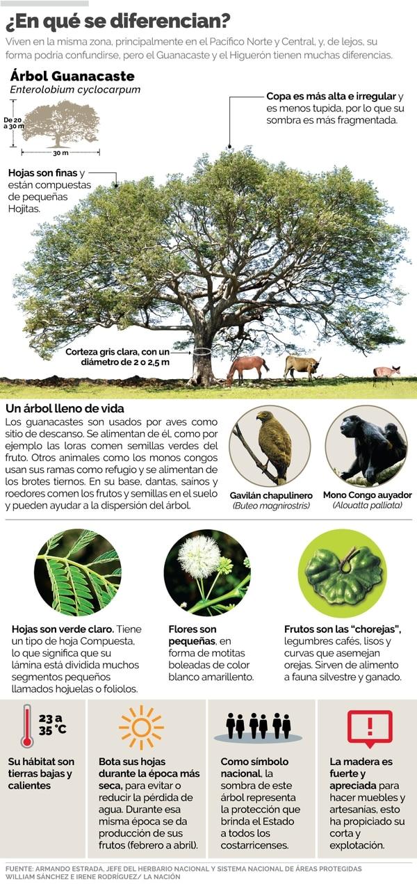 Guanacaste E Higuerón árboles Muy Distintos Pero Que Ticos