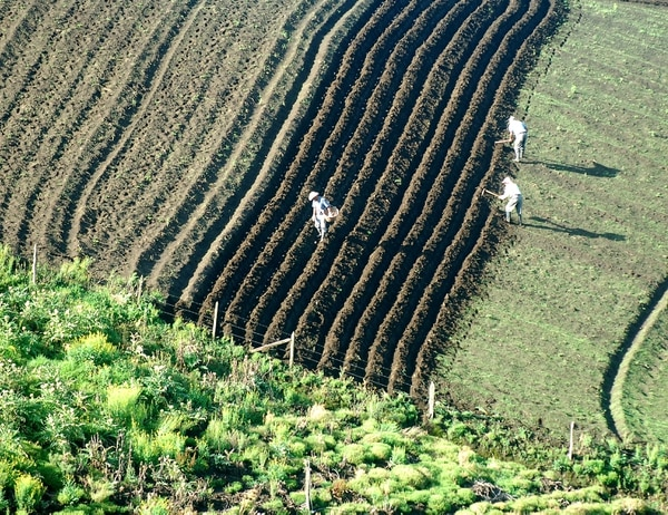 Agricultores sembrando papa en San Juan de Chicuá, en Cartago. A las empresas de agricultura se les capacitará en el uso de la factura electrónica. Foto: Rafael Pacheco