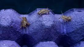 Autorización para reproducir grillos y gusanos comestibles amplía mercado a granjas comerciales