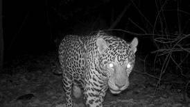 (Video) Cámara registra a dos jaguares hermanos de cacería en playa de Guanacaste