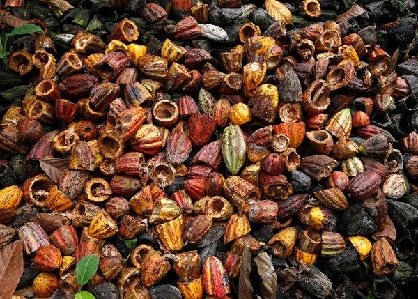 Las cáscaras se utilizan como un abono natural concluido el proceso del cacao hasta convertirlo en chocolate. Foto: Albert Marín.