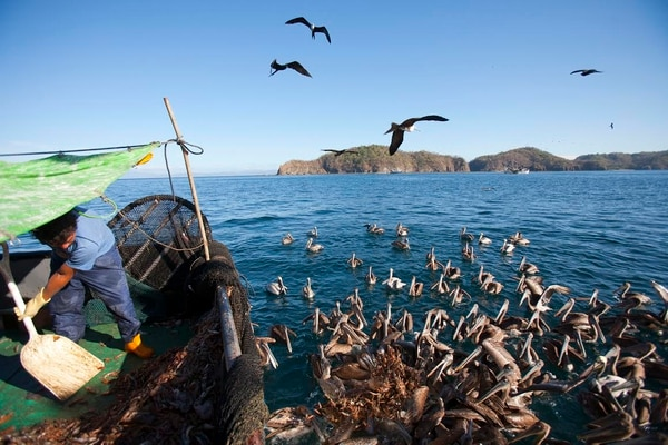 Aproximadamente un 20% de lo que captura esos barcos es camarón. Otras especies atrapadas por horas en las redes se desechan sin vida en el mar.