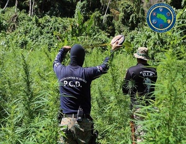 La Policía de Control de Drogas (PCD) logró erradicar 361.735 matas de marihuana en un operativo en Talamanca de Limón. Foto: MSP para LN