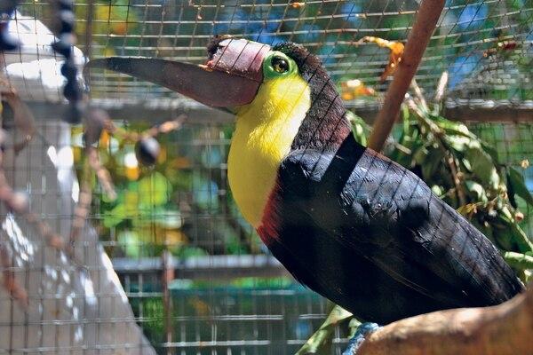 A inicios de enero Grecia el Zoo Ave recibió de funcionarios del Ministerio de Ambiente (Minae) un tucán que fue golpeado por un grupo de jóvenes con un palo de madera lo cual provocó que perdiera gran parte de su pico.